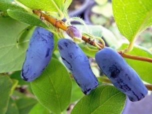 haskap-berries